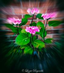 Day 201, 2016, a photo a day. (lizzieisdizzy) Tags: outside garden border plant flora flower laef stalk flowers leaves stalkes hydrangea manyheaded bush bushy profusegrower pink blue lilac unfragranced