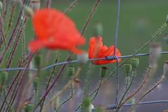 story of a fence (Xtraphoto) Tags: zaun drahtzaun draht mohn klatschmohn blume rot red flower poppy poppies fence bokeh