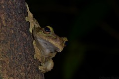Green-eyed Tree Frog (Litoria serrata) (shaneblackfnq) Tags: greeneyed tree frog litoria serrata shaneblack amphibian mossman far north queensland australia rainforest tropics tropical