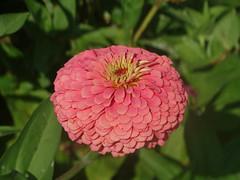 DSC00425 (gregnboutz) Tags: flower flowers bloomingflower bloomingflowers brightflowers colorfulflower gardenflowers gardenflower macro macros macroflower macroflowers colorfulmacro colorfulflowers colorfulmacros bloomingzinnias colorfulzinnias macrozinnia macrozinnias zinnias zinnia pink pinkflower pinkflowers pinkzinnias pinkzinnia