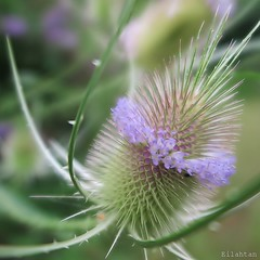 """Et que ne durent que les moments doux..."" (nathaliedunaigre) Tags: flowers flower fleur fleurs fleurssauvages wildflowers wildlife chardon macro dtails details green purple mauve pastel carr square composition nature plante plant vgtal verdure bokeh thistle"