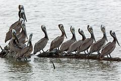 Brown Pelican, Salton Sea, Imperial, California (Terathopius) Tags: saltonsea imperialcounty california usa brownpelican pelecanusoccidentaliscalifornicus pelecanusoccidentalis