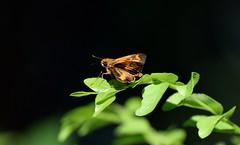 Smaller Dartlet? (sreejithkallethu) Tags: smallerdartlet butterfliesofkerala nature neeravil kollam kerala