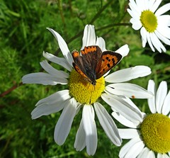 Papillon (Bricheno) Tags: butterfly macro arran island isleofarran scotlandinminiature clyde estuary firth firthofclyde bricheno szkocja schottland scozia scoia scotland cosse escocia esccia    daisy