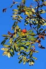 madrberkenye / rowan tree (debreczeniemoke) Tags: nyr summer erd forest fa tree madrberkenye rowan mountainash sorbierdesoiseleurs sorbierdesoiseaux vogelbeere sorbodegliuccellatori scorudemunte sorbusaucuparia pyrusaucuparia rzsaflk rosaceae olympusem5