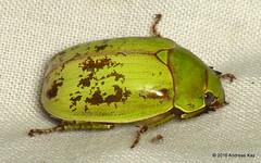 Rutelidae (Ecuador Megadiverso) Tags: andreaskay beetle coleoptera ecuador jewelscarab mindo reservariobravo rutelidae