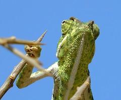 Mediterranean chameleon (Chamaeleo chamaeleon) (Nick Dobbs) Tags: reptile mediterranean chameleon chamaeleo chamaeleon malta lizard