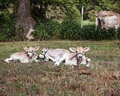 Brown Swiss Triplet Heifer Calves-A RARE Event (julieabrown1) Tags: cows cattle rare event triplet brownswiss calf calves heifers missouri ozarks southwestmissouri ava douglascounty