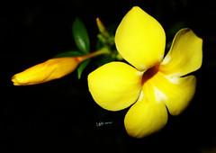 Bell Flower -   (radhkrishna) Tags: flower flowers bellflower   nature flora