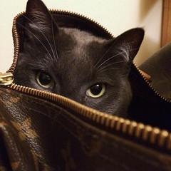 Voglio la cuccia #LV (gujapanichi) Tags: eyes gattomerlino merlino louisvuitton cat instagramapp square squareformat iphoneography clarendon