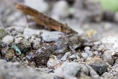 Cadena alimenticia! (Cronsis) Tags: hormigas dead muertes lagarto