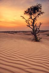 (Leonid Yaitskiy) Tags: uae united arab emirates dubai abu dhabi al ain desert tree sand dunes sunset clouds sky leonid iaitskyi nikon d610 nikkor 24mm dusk