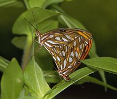 The next generation (AllHarts) Tags: gulffritillaryagraulisvanillae dixongardens memphistn naturescarousel ngc