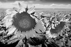 Sunflower Fields (david.evenson) Tags: sunflower blackandwhite landscape loxia21mm zeiss loxia