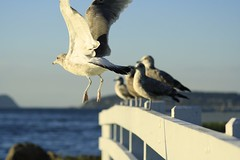 Cardoza-Depth of field (rony cardoza) Tags: washington seagulls sea seattle ocean moment right