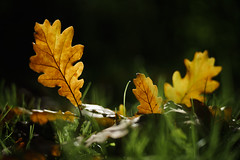 Oak leaves (Helena Normark) Tags: oakleaves oakleaf fallleaves fall autumn fallcolors trondheim srtrndelag norway norge sonyalpha7ii a7ii voigtlnder cv5015 nokton5015 nokton50mmf15