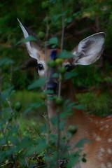 i see you (courtney065) Tags: nikond200 nature deer fauna animals mono bw blackandwhite monochrome