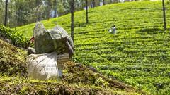 319A1677 Harvesting Tea. Western Ghats, Kerala (Priscilla van Andel (Uploading database)) Tags: teaplantation tea harvestingtea munnar kerala