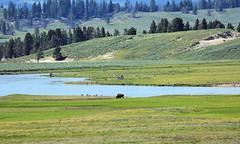 Lone Bison out on the Prairie (Chuck - PhotosbyMCH (back now)) Tags: photosbymch landscape river nature prairie yellowstoneriver yellowstonenationalpark nationalpark wyoming usa canon 5dmkiii 2015 bison buffalo ef100400mmf4556lisusm inexplore explored 25000views 30000views 35000views 40000views