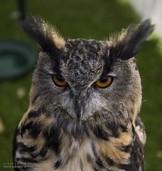 North West Vintage Rally (Ollie Smith Photography) Tags: vintage rally northwest halton cheshire widnes nikon d7200 lightroom 50mm 18d owl bird birdofprey feathers europeaneagleowl