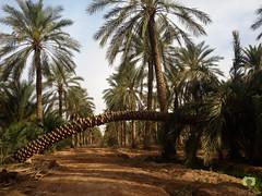 Arche vgtale dans la palmeraie de Hobba (Ath Salem) Tags: algrie paysage tourisme dcouverte    palmeraie hobba eloued souf sable blanc sahara est irrigation palmier   coupole
