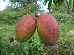 Anglų lietuvių žodynas. Žodis mangifera reiškia <li>mangifera</li> lietuviškai.