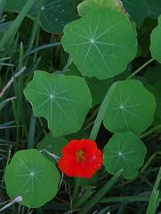 Tropaeolum majus, Swan River, Dalkeith, Perth, WA, 12/08/16 (Russell Cumming) Tags: plant weed tropaeolum tropaeolummajus tropaeolaceae swanriver dalkeith perth westernaustralia