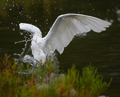 Snowy Egret 9_19 1 (krisinct- Thanks for 12 Million views!) Tags: nikon d500 500 f4 vrg