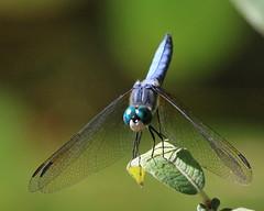 September Blues.....   :) (Paridae) Tags: dragonfly dragonfliesofbritishcolumbia dragonfliesofthewetlands insectsofbritishcolumbia insects insecteaters thingswithwings westernpondhawk pondhawk bluedragonfly afewofmyfavouritethings canoneos7d erythemiscollocata odonata