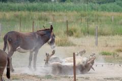 11072016-DSCF4911-2 (I Ring) Tags: sna equus africanus asinus donkey ne commun camargue juli 2016 france domestic fujifilm fuji xt1 animals