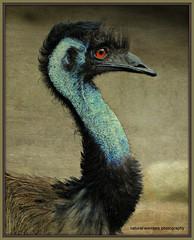 Madame Emu (natural wonders photography) Tags: madameemu dromaiusnovaehollandiae australianbird secondlargestbird flightless blueneck breedingcolours naturalwondersphotography texture