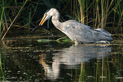 Fishing.......... (klythawk) Tags: heron ardeidae bird pike fish willow reeds reflection sunlight summer nature pond water green grey yellow black white olympus em1 omd 300mm 14xtc attenboroughnaturereserve deltahide beeston nottingham klythawk