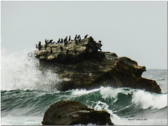 Cormorant Rock (MyRidgebacks - Sharon C Johnson) Tags: pacificocean mavericks cormorants rocks swells sharoncjohnsonphotography