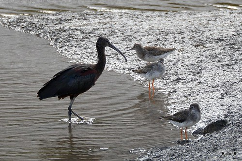 Glossy Ibis [with Redshank] - Fremington Quay 16-09-2016 14-42-10