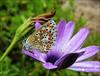 Azuré commun femelle (chando*) Tags: argusbleu azurécommunfemelle azurédelabugrane butterfly commonblue female femelle insecte papillon