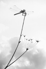 High perched (Michel Couprie) Tags: blackandwhite bw macro nature clouds canon insect eos noiretblanc dragonfly 7d nuages damselfly libellule damsel contreplonge tige perch consdiving