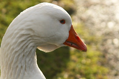 Day 317 - Snow goose (Ben936) Tags: white bird neck head beak feathers blueeye birdseye snowgoose yellowbeak
