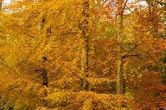 FIRE IN THE TREES (mark_rutley) Tags: autumn fall fareham forestofbere