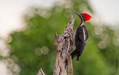 woodpecker (gilbertotrilheiro) Tags: thegalaxy natureplus panoramafotogrfico natureandpeopleinnature me2youphotographylevel1