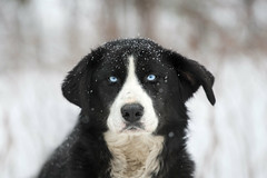 Metier: Chien de Traineau (LeFon) Tags: winter dog chien snow nature animal wow photographer quebec quality wildlife hiver qubec iloveit specanimal lefion chiendetraineau lefon