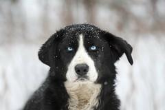 Métier: Chien de Traineau (Renald Bourque) Tags: winter dog chien snow nature animal wow photographer quebec quality wildlife hiver québec iloveit specanimal lefion chiendetraineau lefïon