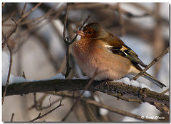 Chaffinch (Betty Vlasiu) Tags: bird nature wildlife chaffinch fringilla coelebs freedomtosoarlevel1birdphotosonly freedomtosoarlevel1birdsonly