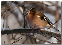 Chaffinch (Betty Vlasiu) Tags: bird nature wildlife chaffinch fringilla coelebs freedomtosoarlevel1birdphotosonly freedomtosoarlevel1birdsonly