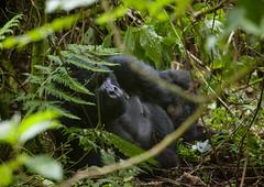 Gorilla  In Volcanoes National Park - Rwanda (Eric Lafforgue) Tags: africa park animal forest outdoors gorilla bamboo rwanda greenery foret primate parc bambou afrique eastafrica gorille mountaingorilla oneanimal gorillaberingei gorillatrekking bigape unanimal gorilledesmontagnes rwanda9451