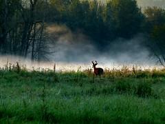 Morning (LukeDetwiler) Tags: usa fog oregon unitedstates northwest or unitedstatesofamerica deer pacificnorthwest northamerica buck democrat liberal multnomah multnomahcounty thousandacresoregonoregonwildlife multnomahcountyoregonj