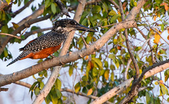 """Giant Kingfisher, Zambia • <a style=""""font-size:0.8em;"""" href=""""https://www.flickr.com/photos/21540187@N07/8293306093/"""" target=""""_blank"""">View on Flickr</a>"""