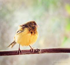 Cute birdie :) (Krisstv) Tags: bird yellow canon dof bokeh 85mm amarillo ave canary pajaro canario 5dmarkii