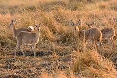 "Comon Reedbuck in Okavango Delta, Botswana • <a style=""font-size:0.8em;"" href=""https://www.flickr.com/photos/21540187@N07/8294336918/"" target=""_blank"">View on Flickr</a>"