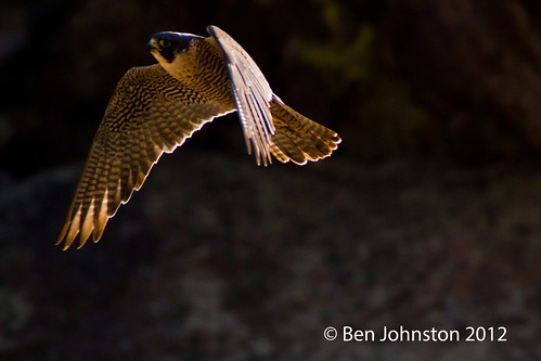 Photo - Peregrine Falcon