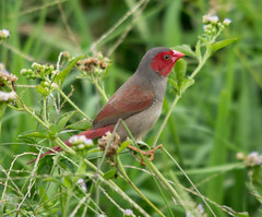 Crimson Finch female (Ralph Green) Tags: female australia northernterritory crimsonfinch neochmiaphaeton foggdamreserve